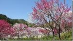 日本一の花桃の里である阿智村の月川温泉郷へ行った 2018
